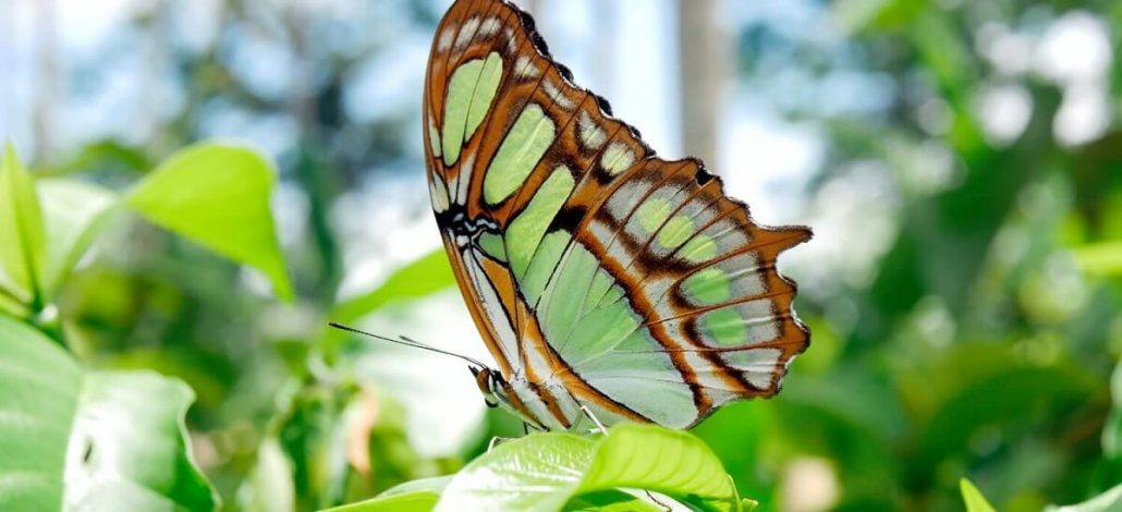 Papillon posé sur une feuille dans la forêt amazonienne